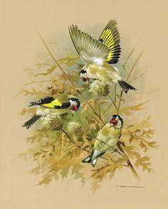 The Goldfinch - Vintage 1965 Bird Print by Basil Ede Bird Illustration, Watercolor Illustration, Watercolor Bird, Watercolor Paintings, Bird Artwork, Australian Birds, Bird Pictures, Wildlife Art, Wild Birds