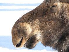 Content moose