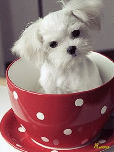 pup in a cup... absolutely adorable ! Charlie, what are you doing in that cup? @Jess Pearl Pearl Liu Simpson ___ Click the Link in my Bio <@jurale13> and what you will find there use it as a Gift.
