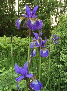 Purple Area: Nu blommar irisen!