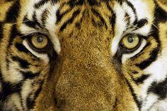 Public Domain Tiger Pictures - PublicDomainBox.com :http://www.publicdomainbox.com/public-domain-tiger-pictures-publicdomainbox-com/