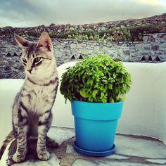 Greek Cat & Basil