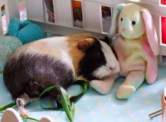 Sleeping piggy with its favourite toy. Cute Small Animals, Cute Funny Animals, Cute Baby Animals, Animals And Pets, Diy Guinea Pig Cage, Baby Guinea Pigs, Guinea Pig Care, Pig Pics, Guniea Pig