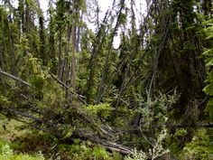 "https://flic.kr/p/mMWct | Drunken Forests | Trees that have collapsed from permafrost melting are sometimes referred to as ""drunken forests"". Where large-scale thawing of ground ice has occurred, the landscape has been transformed through mudslides, formation of flat-bottomed valleys, and formation of melt ponds, which can enlarge for decades to centuries, dramatically altering the landscape. Scenes like this are evident throughout the interior of Alaska."