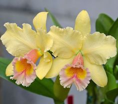 Religious Magic And Spiritual Ability Element One Cattleya Orchid Tropical Flowers, Exotic Flowers, Amazing Flowers, Yellow Flowers, Beautiful Flowers, Orquideas Cymbidium, Yellow Orchid, Cattleya Orchid, Orchidaceae