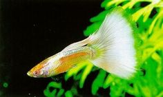 Platinum-White Albinos - Courtesy of Luke's Show Guppies Guppy, Tropical Aquarium, Aquarium Fish, Luke Show, Fresh Water Tank, Albino, Freshwater Fish, Animals, Freshwater Fish Tank