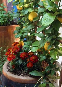 Grow Some Tangy Citrus in Your Container Garden--Suitably Small Varieties for Container Gardening    Like all trees you plan to grow in a pot, you should always, always, always select either a natural dwarf or a tree growing on dwarf rootstock. According to Sunset's Western Garden Book of Edibles dwarf citrus trees are usually grafted on to one of two kinds of root stock.