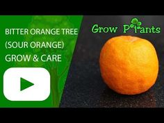 Bitter orange tree - Learn how to grow Bitter orange tree, plant information - climate, zone, uses, growth speed, water, light, planting & bloom