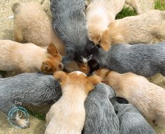 Australian cattle dog puppies. Here's to wishing I were right in the middle of that pack!