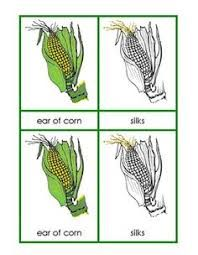 Onion plant diagram google search plants pinterest plants image result for montessori botany list of impressionistic charts ccuart Image collections