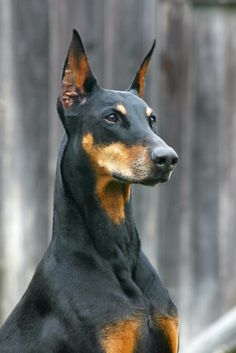 These free downloadable wallpapers are HD and available varying range of sizes and resolutions. Download Doberman Pinscher HD Wallpapers absolutely free for ...