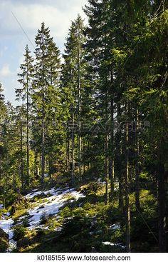Colección de imágen - bosque, y, nieve k0185155 - Buscar fotos e imágenes y…