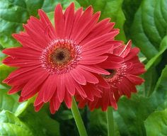 Gerbera Daisies. Because they are...well, they are just my favorite.