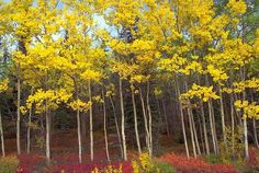 Birch Trees In Fall Image