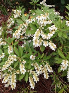 Pieris Japonica Southern Lady is a real gem!