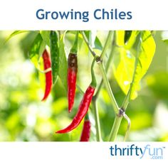 Chilies can be easy to grow and they are a delicious addition to almost any meal. This is a guide about how to grow chillies.