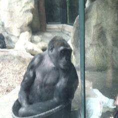 Franklin park zoo gorilla