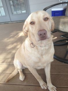 Mr Brown – Adopted 2/23/13 | Labrador Friends of the South