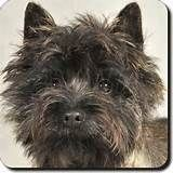 Details about Brindle Cairn Terrier Dog Leather Coaster, AT-CT2SC