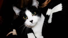 Black n White Cat Looking 2015 | Top 15 Black n White Full HD Desktop Wallpapers