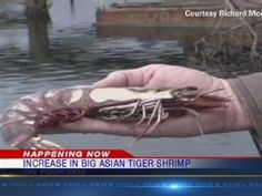 Giant Canibal tiger shrimp invade u.s. east coast! I'm not joking this is tottally real!!