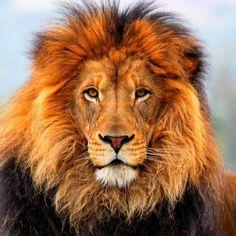 lion painting | caractéristique du lion le lion est le plus grand carnivore d afrique ...