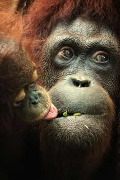 I have given what I see on Pinterest, the room in which I sit, and everything I perceive ALL the meaning it that it has for me. #perception #ACIM (Image: Orangutan with Her Baby)