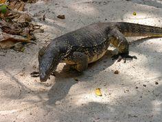 Walter, der Waran: Local Wildlife auf Hong Island, Krabi/Thailand! Krabi Thailand, Wildlife, Island, Animals, Monitor Lizard, Block Island, Animais, Animales, Animaux