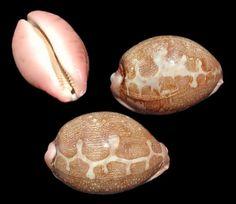 Deltona Seashells & Gifts - CYPRAEA MAPPA (EA) (MAP COWRIE)