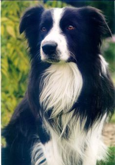 I think this handsome Border Collie wants to come home with me and be called Clint. I do.