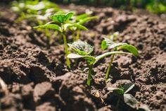 Kvalita a krása priesad, rovnako aj úspešnosť ďalšieho pestovania úrodnosť súvisí so starostlivosťou o rastlinky prakticky od semena. Kľúčovú rolu zohráva dostatok živím, ktoré plodina potrebuje. Ako hnojiť rastlinky, ktoré plánujeme použiť ako priesady? Vane, Plants, Plant, Planets