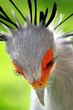 Secretary bird with a crown of feathers and long black eyelashes.