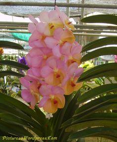 56 Best Vanda Orchids Images On Pinterest Orchid Flowers Vanda Orchids And Flowers