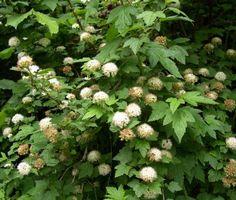 Physocarpus capitatus pacific ninebark | Physocarpus capitatus, pacific ninebark