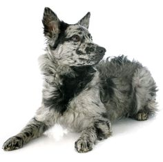 11 Rare Dog Breeds: Swedish Vallhund, Otterhound, and Rare Dogs, Rare Dog Breeds, Small Dog Breeds, Small Dogs, Dog Breeds List Of, Good Dog Breeds, Unique Dog Breeds, Otterhound, Arte Sailor Moon