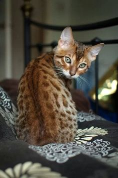 "What a beautiful animal!!! I couldnt have one so I named mine ""Savannah"""