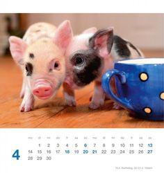 minischweine kalender 2014 schnuten pinterest. Black Bedroom Furniture Sets. Home Design Ideas