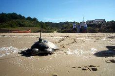 POTD: Juvenile green turtle telemetry project, Cerro Verde, Uruguay myd.as/p652
