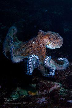 sea life - sea life photography - sea life underwater - sea life artwork - sea life watercolor sea l Beautiful Sea Creatures, Deep Sea Creatures, Animals Beautiful, Cute Animals, Underwater Creatures, Underwater Life, Octopus Photography, Octopus Pictures, Fauna Marina