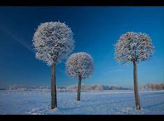 Snow trees, Lithuania