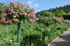 Giverny standard rose garden.