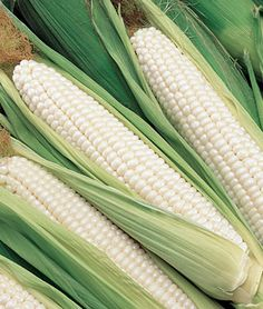 Silver Choice Hybrid Corn Seeds and Plants, Vegetable Gardening at Burpee.com