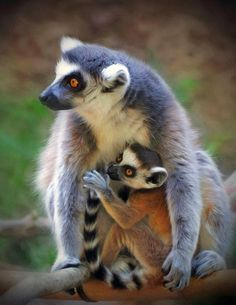 baby monkey and mother - Google Search