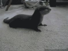 Otters are brave and they'll defend against dangerous intruders. | 23 GIFs Of Otters That Will Make You Wish You Could Have One For A Pet