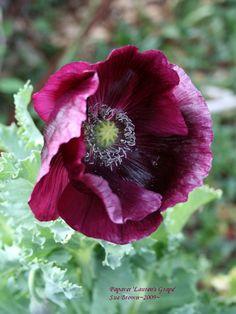 Photo of Opium Poppy (Papaver somniferum 'Lauren's Grape') uploaded by Calif_Sue