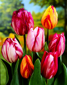 Tulip Hybrida Rembrandt Style Mix from Jung Seed - Year of the Tulip - National . - Tulip Hybrida Rembrandt Style Mix from Jung Seed – Year of the Tulip – National … – – - Shade Flowers, Bulb Flowers, Tulips Flowers, Spring Flowers, Parrot Tulips, Cactus Flower, Fresh Flowers, Purple Flowers, Tulips Garden