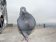 Le pigeon top model...il a de l avenir ce petit