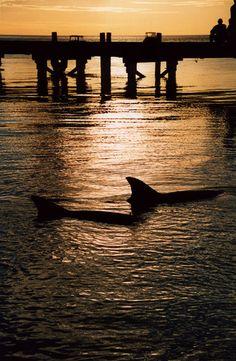 Swim with the dolphins in Monkey Mia, WA - not anymore. Swimming with the dolphins is no longer allowed.