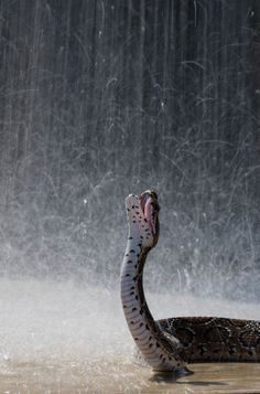 01     02     03     04     05     06     07     08     09     10     11     12     13     14     15     16     17     18     19     20     21     22     23     24     25  MORE... < > Russell's viper snake, Sri Lanka This Russell's viper snake takes advantage of the rain in Sri Lanka. Picture: Rex.  #animals #snakes #rain