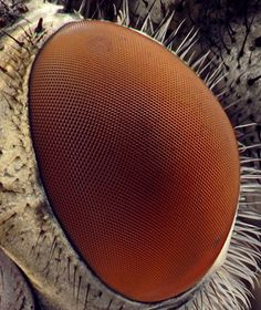 """""""The structure of the fly's eye, similar to many other insects, is termed a compound eye and is one of the most precise and ordered patterns in Biology."""" I will think of this any time I see/hear a fly! Microscope Parts, Electron Microscope, Micro Photography, Nature Photography, Learn Photography, Microscopic Photography, The Ancient Magus Bride, Microscopic Images, Macro And Micro"""